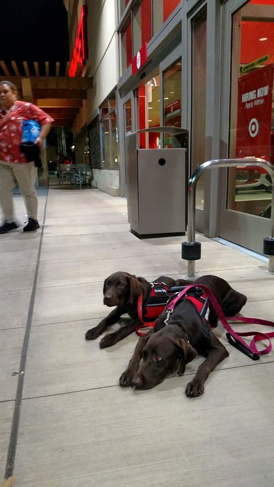 Labrador Retrievers in Service Dog training with Canine Coalition non profit
