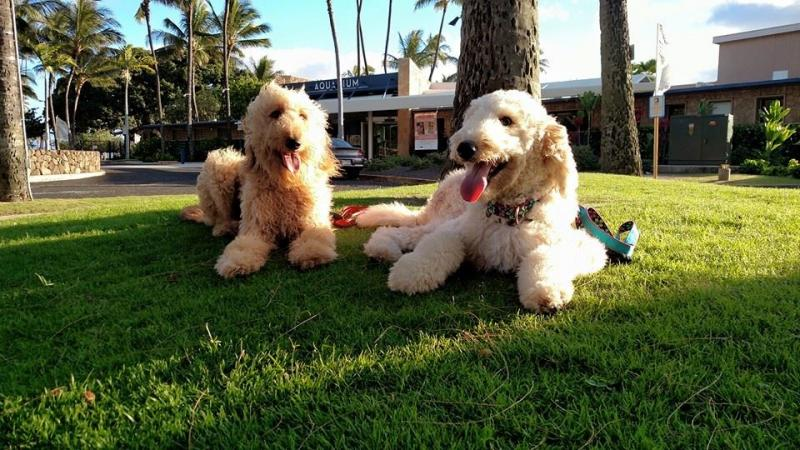 Adorable Goldendoodle puppies & adults as Service Dogs or Emotional Support dogs