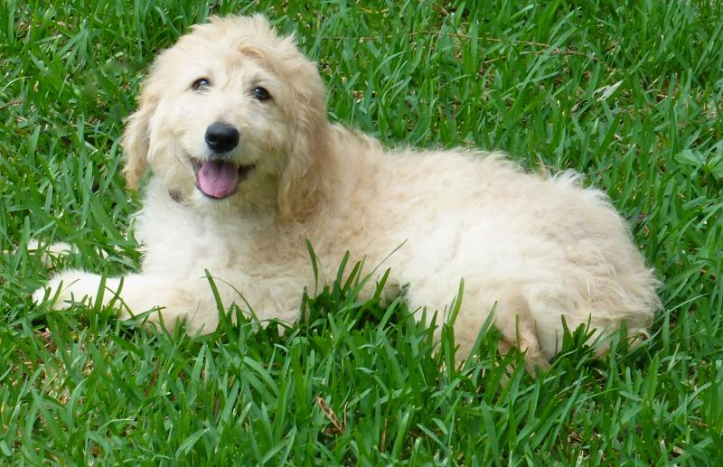 goldendoodle puppies for service dogs and emotional support with canine coalitio