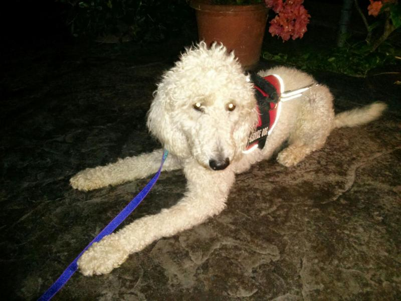 Standard Poodle placed as service dog by Canine Coalition on Oahu, Hawaii