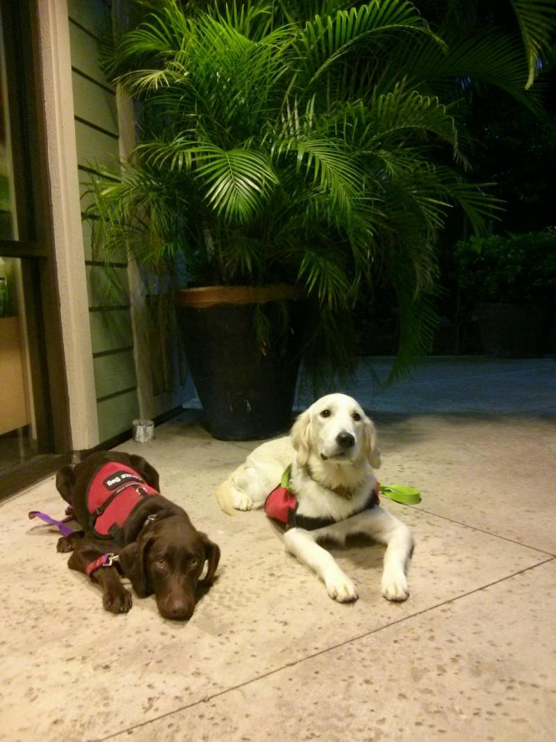 Service Dogs in training with Canine Coalition on Oahu, Hawaii.